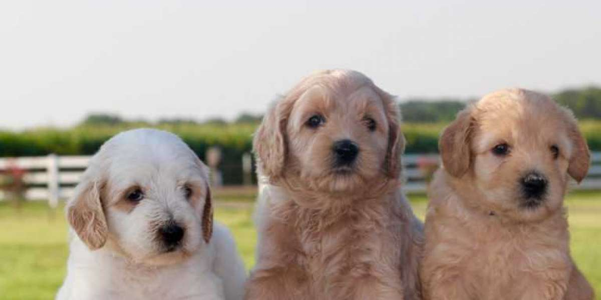 Labradoodle Breeders in Texas