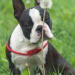 bostonterrier petsfarm